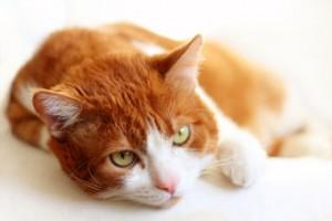 liggende-kat